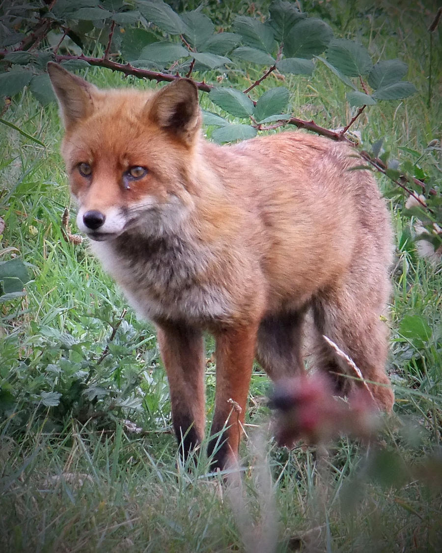 Foxy by AstarothSquirrel