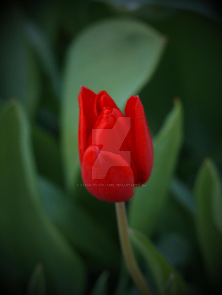 Red Tulip by AstarothSquirrel