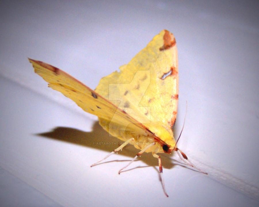 Yellow Moth by AstarothSquirrel