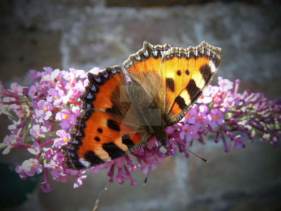 Tortoiseshell Butterfly by AstarothSquirrel