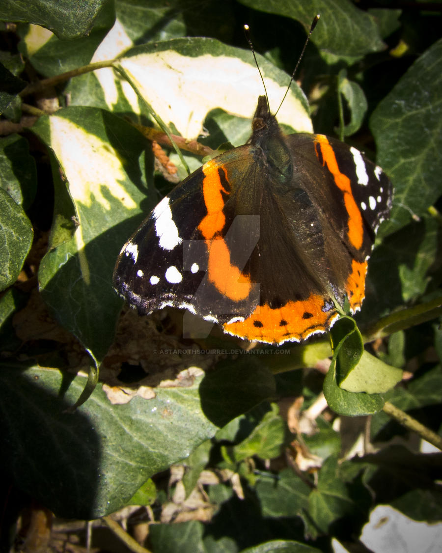 Red Admiral 2 by AstarothSquirrel