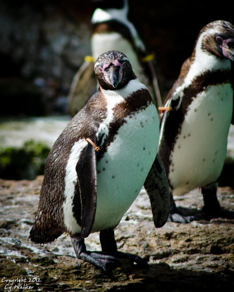 Penguin I by AstarothSquirrel
