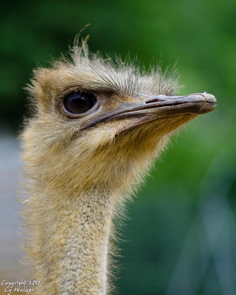 Ostrich II by AstarothSquirrel