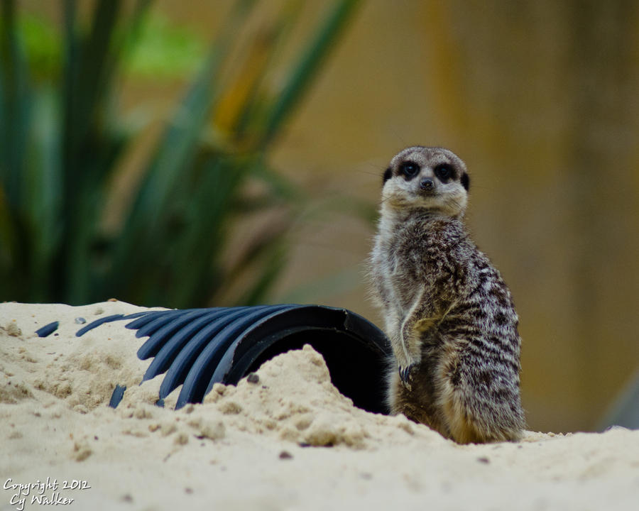 Meerkat by AstarothSquirrel