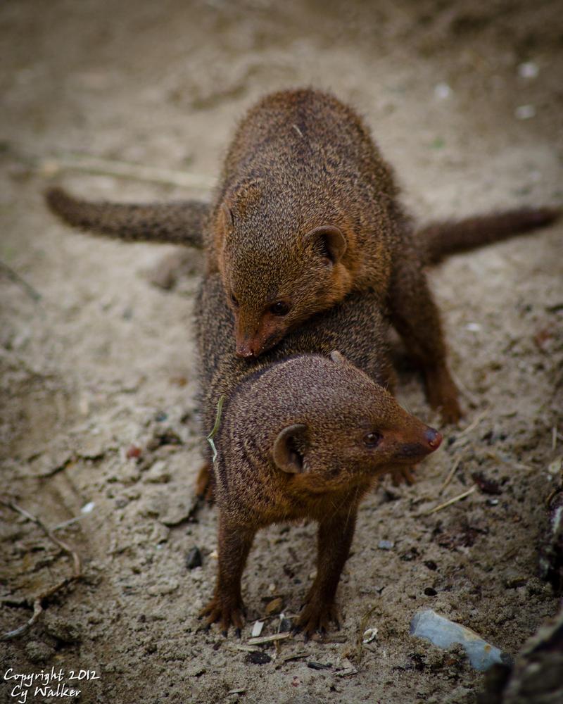 Mongoose Porn by AstarothSquirrel