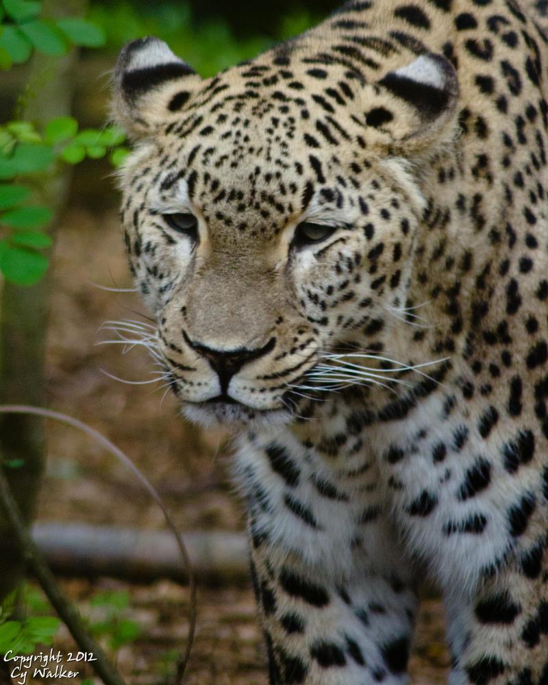 Jaguar I by AstarothSquirrel