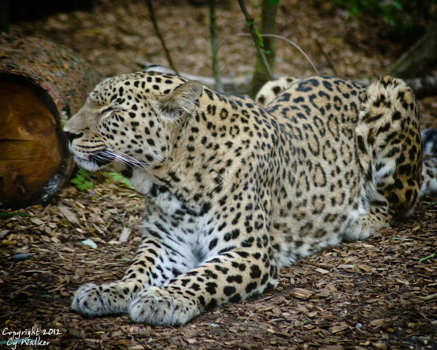 Jaguar II by AstarothSquirrel