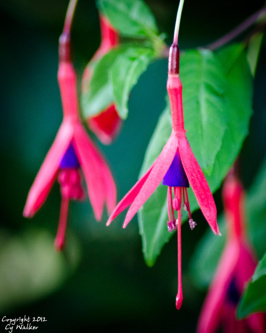 Fuchsia by AstarothSquirrel