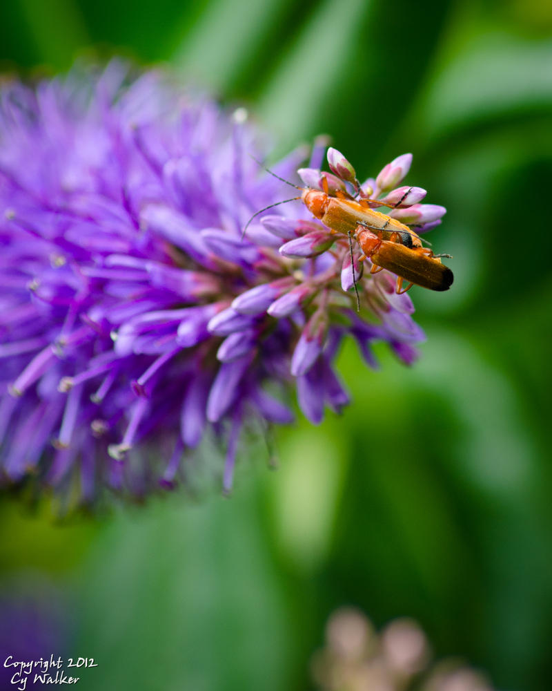 Rhagonycha fulva - Common Red Soldier Beetle by AstarothSquirrel