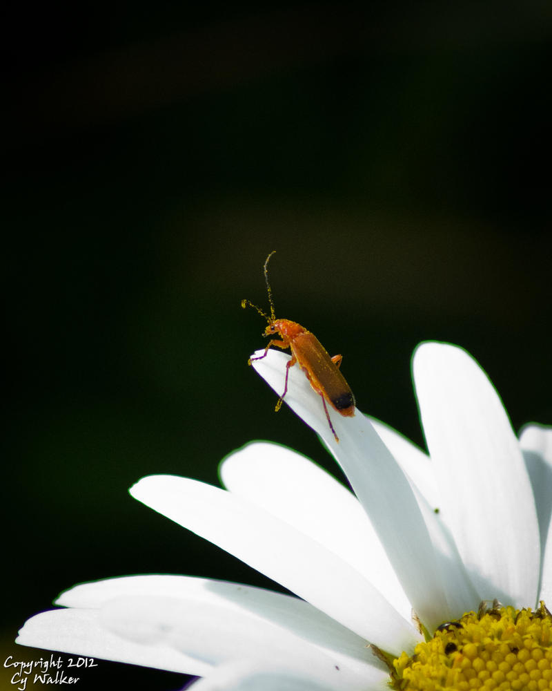 Rhagonycha fulva - Common Red Soldier Beetle II by AstarothSquirrel
