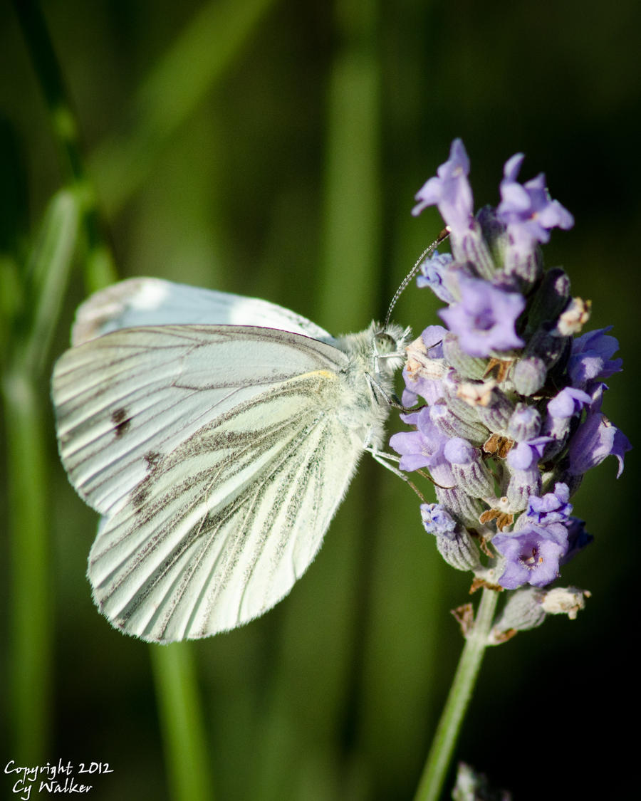 Cabbage White? by AstarothSquirrel