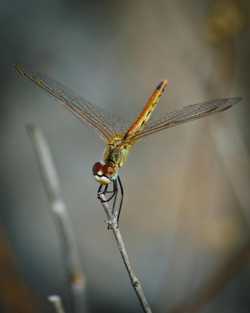 Turkish Dragonfly by AstarothSquirrel