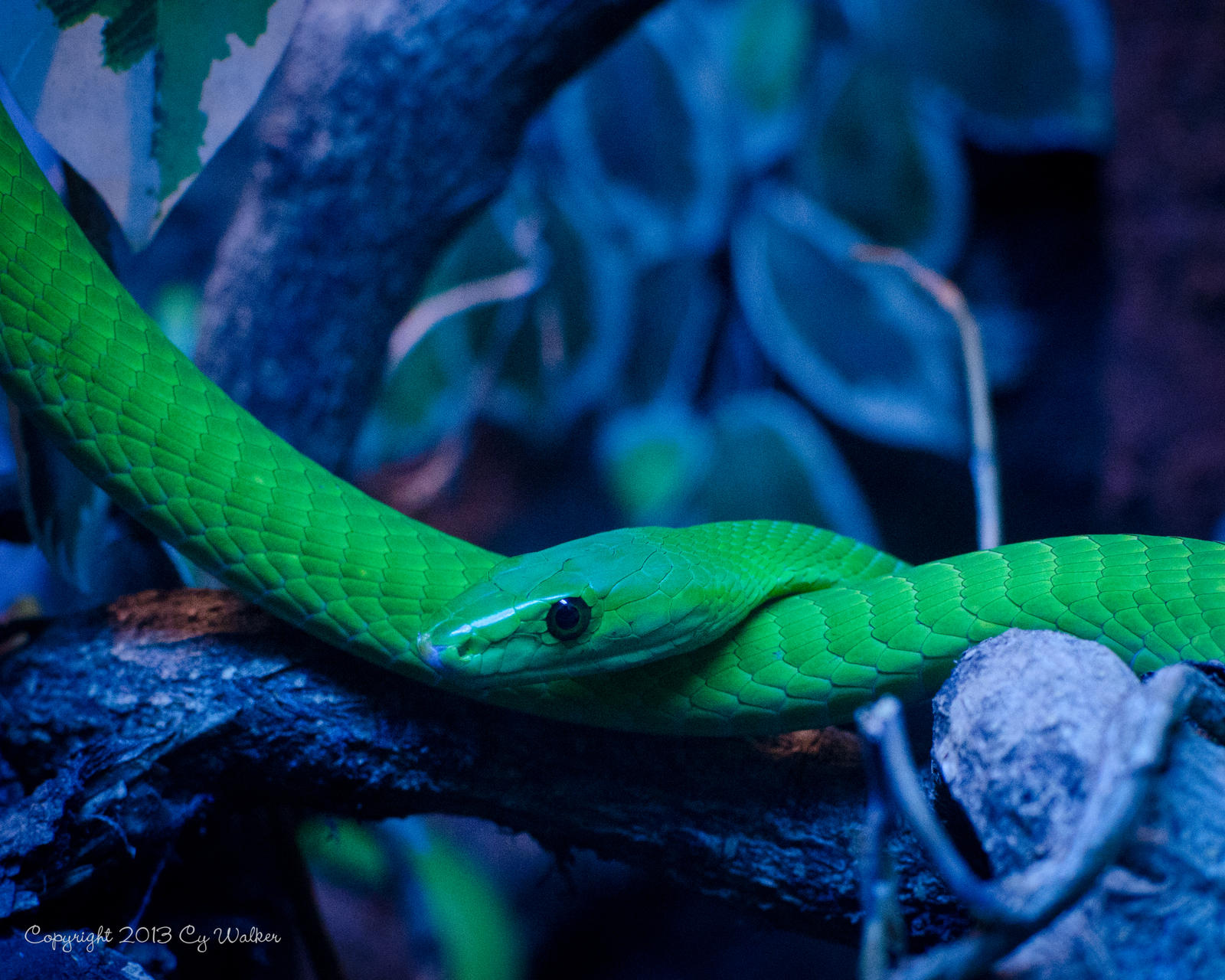 Green Mamba by AstarothSquirrel