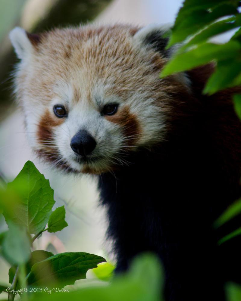 Red Panda 2 by AstarothSquirrel