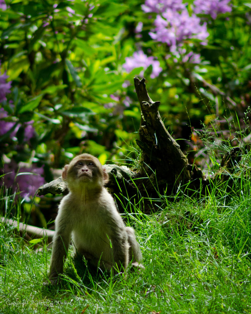 Young Macaque Monkey by AstarothSquirrel