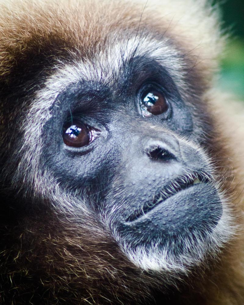 Gibbon by AstarothSquirrel