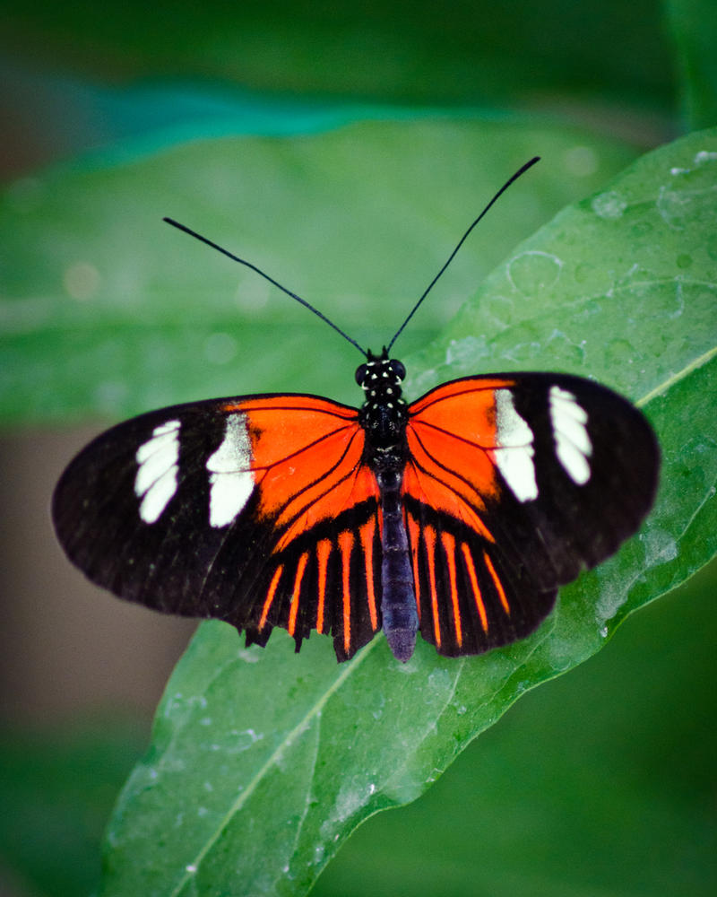 Butterfly by AstarothSquirrel