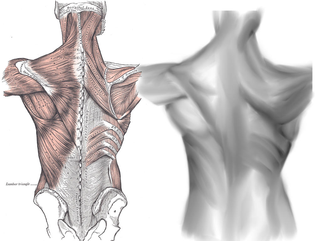 back/shoulders anatomy by zararty