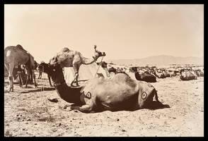 Camel by abhimanyughoshal
