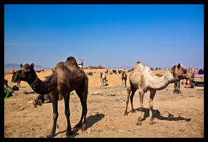 Camels II by abhimanyughoshal