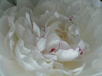 White Peony by LadyLiena