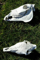 Missouri Mule Skull (for sale) by lupagreenwolf