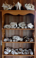 Old Skulls, New Home! by lupagreenwolf