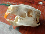 Nutria Skull, For Scraps and More FS!