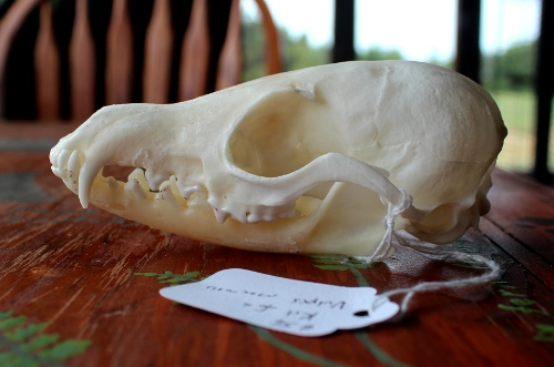 Draw This Kit Fox Skull in Portland! by lupagreenwolf