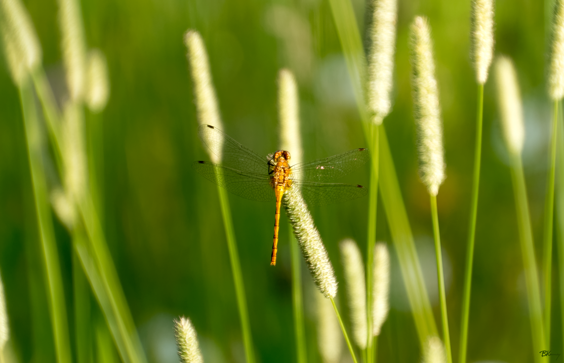 Foxtail Dragonfly by sequential