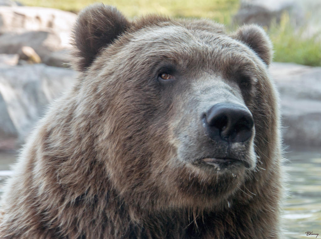 Bear Stare by sequential