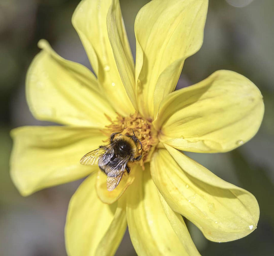 Marigold bee by sequential