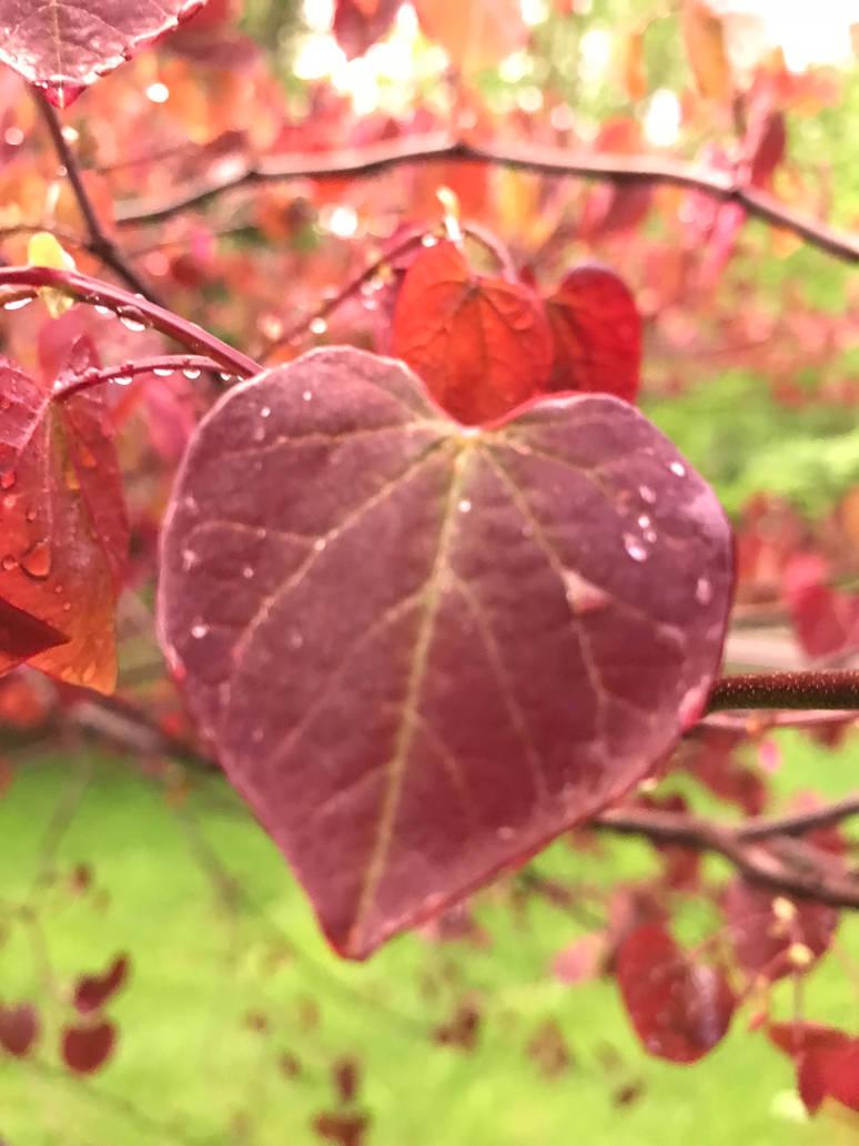 Morning Dew on heart leaf by DarkRedTigr