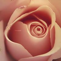 Pink Rose by iMargreet