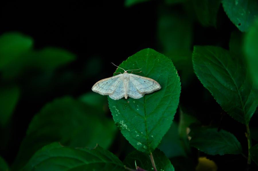 Moth by Vargson