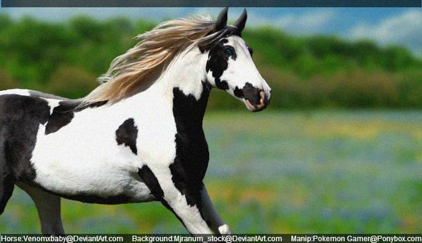 Paint horse in field of bluebonnets