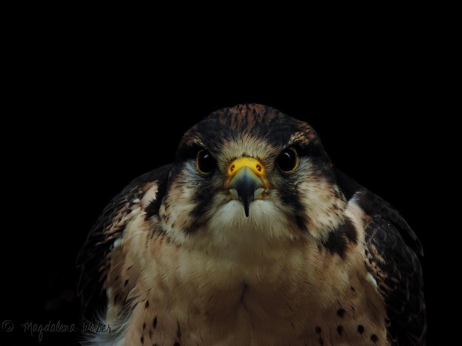 Falco peregrinus by Caledonia87