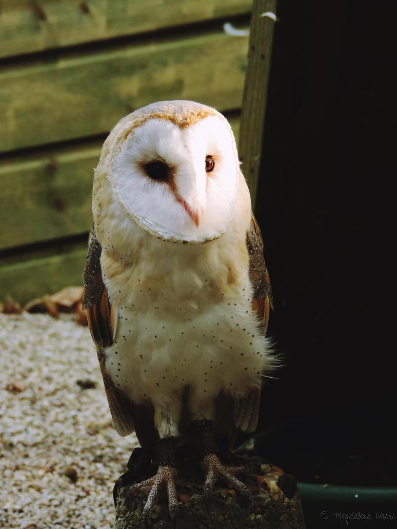 Tyto alba by Caledonia87