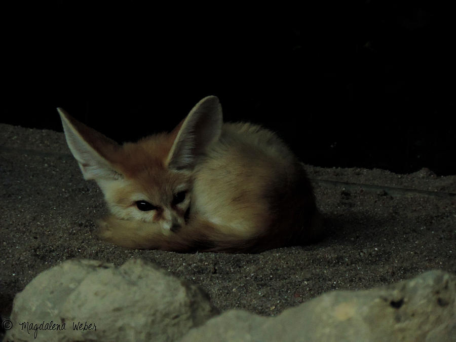 Sleep well little Fennek by Caledonia87
