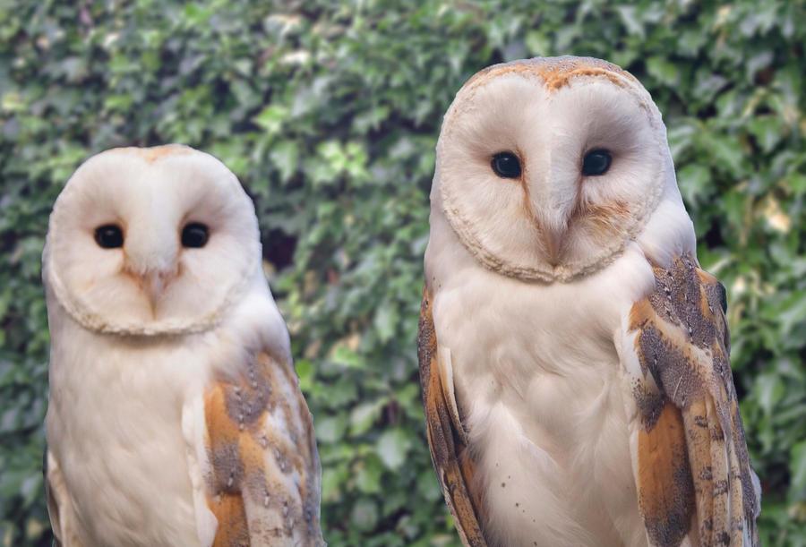 Barn Owls By Jdesigna On Deviantart