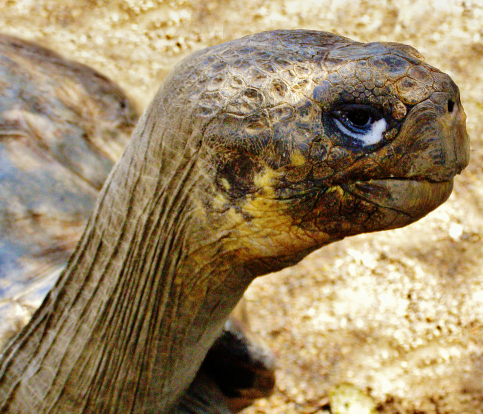 Galapagos Tortoise Geochelone Nigra Illirik