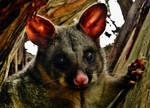Brushtail Possum (Trichosurus vulpecula) Again!