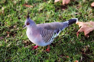 Pigeon by alann-ah