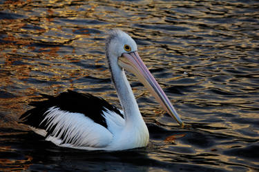 Pelican by alann-ah