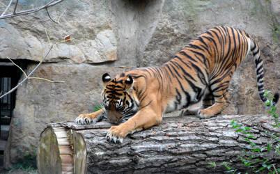 Tiger's stretching by Mikushka