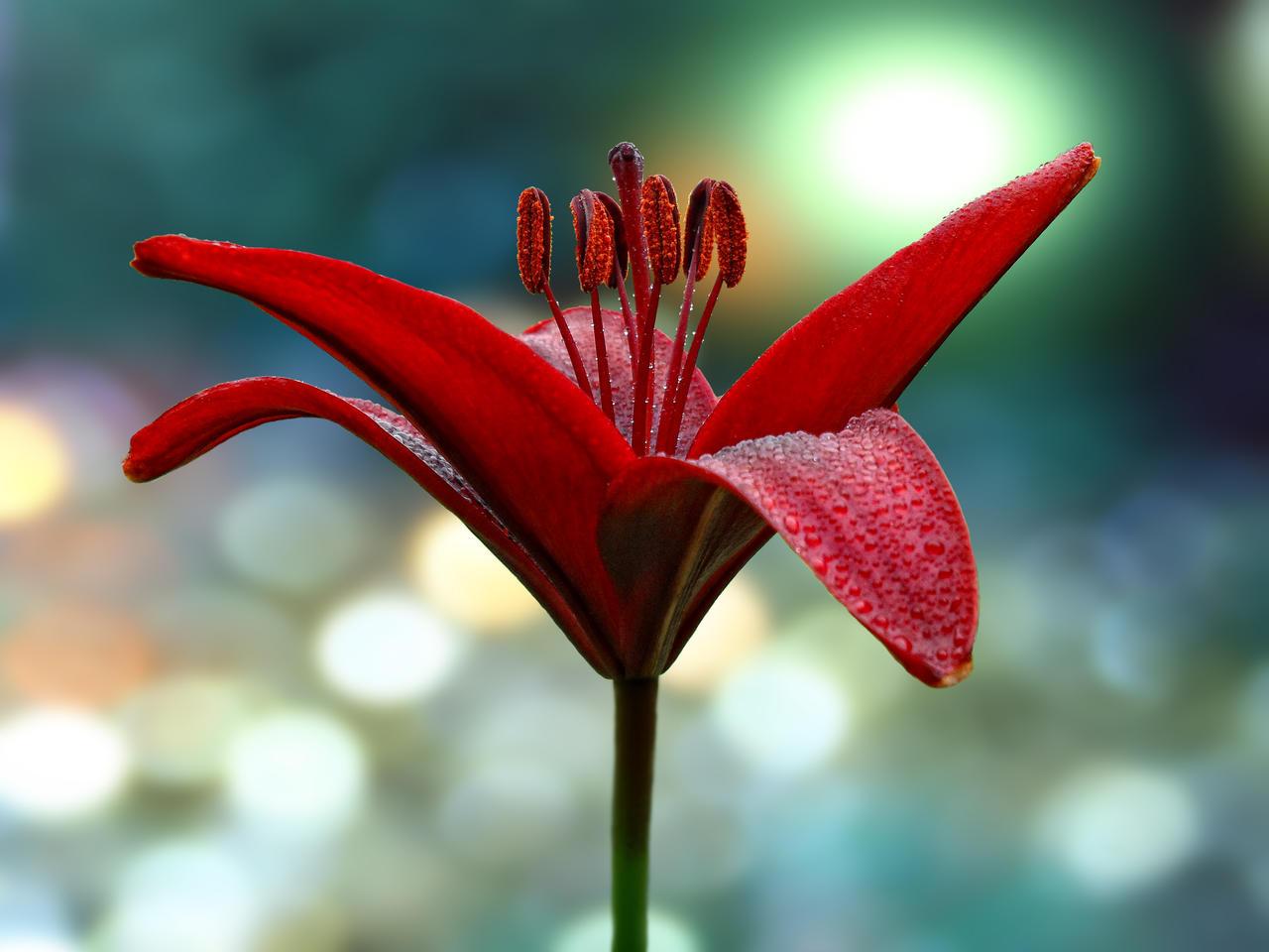 Crimson Lily by Solace-Grace