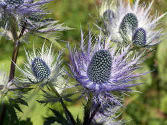 Thistles by Zarrianne