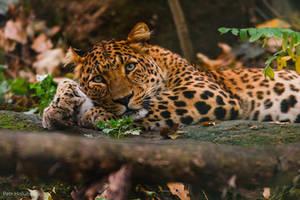 Leopard by Tygrik