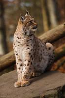Lynx by Tygrik