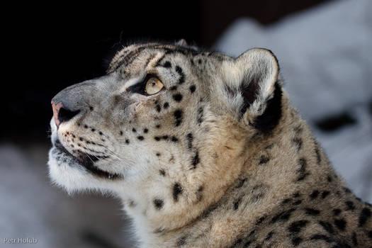 Snow Leopard - Ostrava